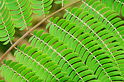 Close-up abstract of the leaves of a Silk tree (Albizia julibrissin var. rosea) growing in a garden in Surrey