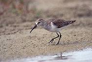 Adult non-breeding<br /> Galveston Co., TX<br /> April 1997