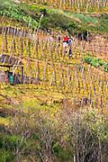 Condrieu vineyard with vineyard workers preparing for spring Condrieu, Rhone, France, Europe