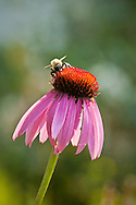 A bumble bee atop a coneflower blossom.