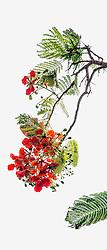 Royal Poinciana Tree Delonix Regia #15-vert