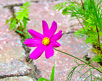 Cosmos flower. Image taken with a Fuji X-T2 camera and 100-400 mm OIS lens.
