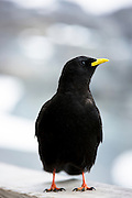 Alpine Chough, Pyrrhocorax graculus, or Yellow-billed Chough bird in the Swiss Alps by the Eiger, Bernese Oberland, Switzerland