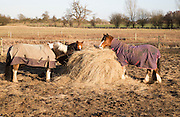 Horses eating hay in winter, Sutton, Suffolk, England, UK