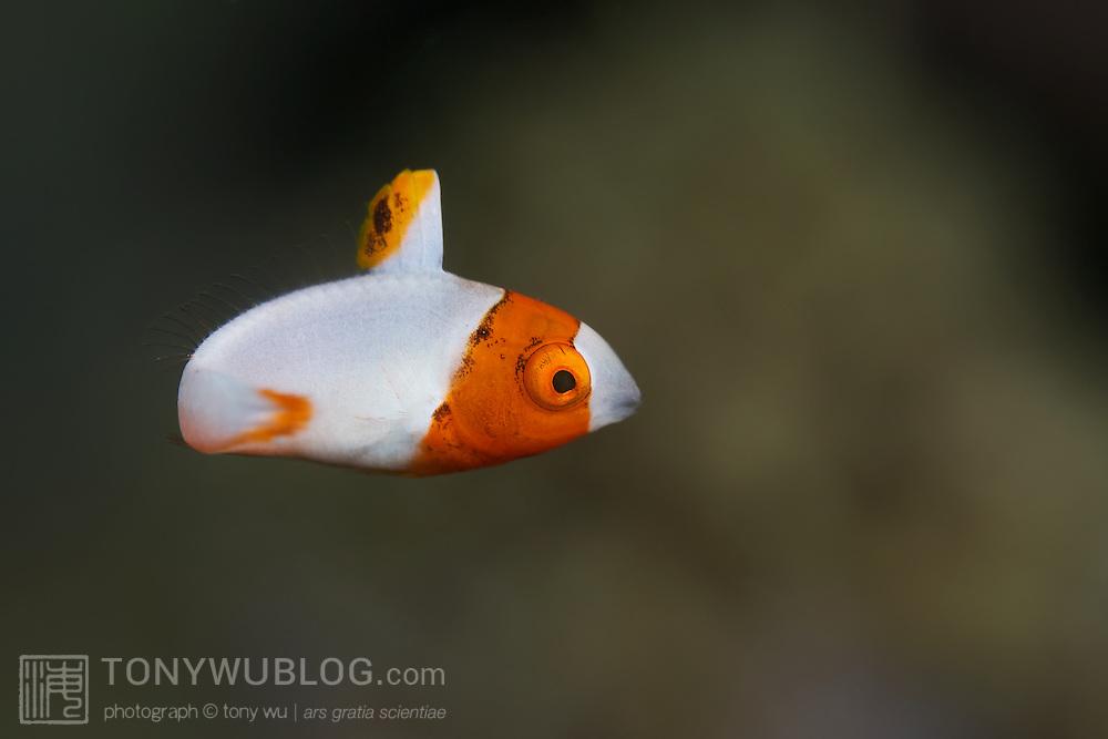 Orange and white juvenile bicolor parrotfish (Cetoscarus bicolor)