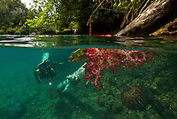 A diver inspects a soft coral growing on a fallen tree trunk.  The passage between Waigeo and Gam Islands.  This unique area is protected from waves but experiences high currents which allows soft corals to flourish just below the surface.