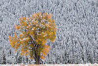 Snow blankets a cottonwood tree as its leaves' colors stand in contrast to conifers after a winter storm moved through Grand Teton National Park.