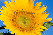 Bees pollinating a flowering sunflower in morning sun near Ryeford, Queensland, Australia <br /> <br /> Editions:- Open Edition Print / Stock Image