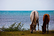 Wild horses graze along the beach on the island of Vieques, Puerto Rico.