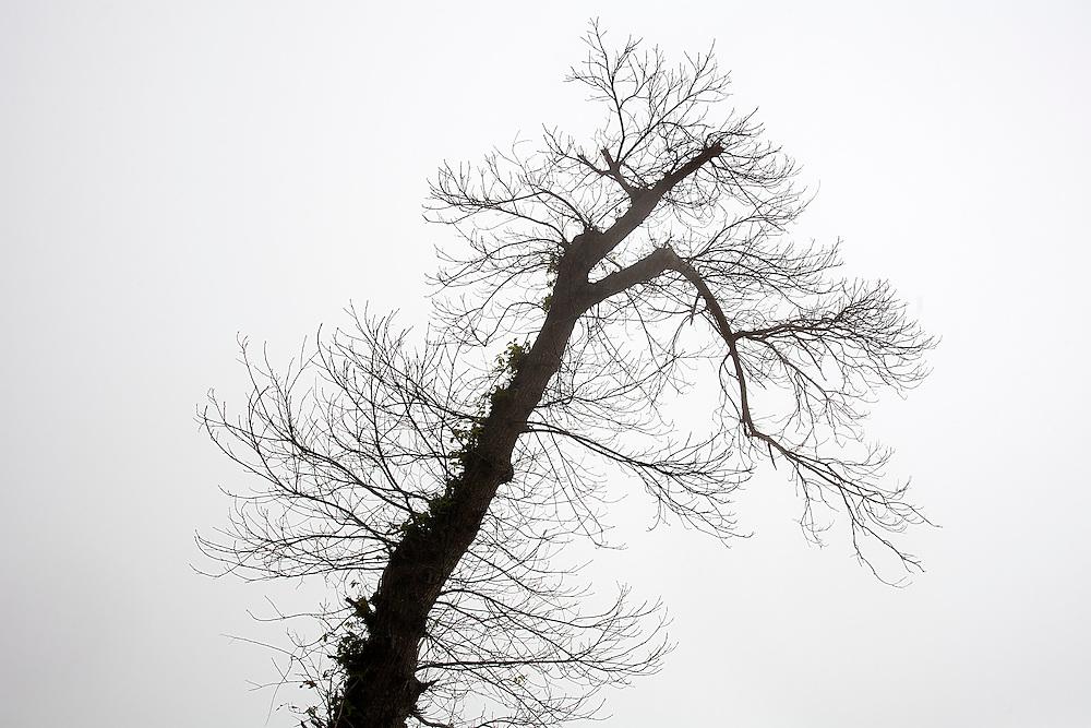 14/Abril/2014 Islas Canarias. Tenerife.<br /> Silueta de un árbol entre la niebla en el Valle de la Orotava.<br /> <br /> © JOAN COSTA
