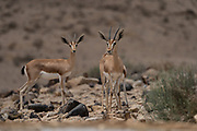 A herd of Dorcas Gazelle (Gazella dorcas), also known as the Ariel Gazelle Photographed in the Negev Desert, Israel