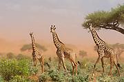 Three Maasai giraffes,  Giraffa camelopardalis tippelskirchi, in a dust storm.