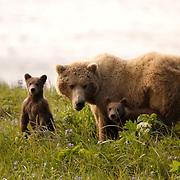 Alaskan Brown Bear (Ursus middendorffi) Mother and cubs on grassy hillside. Katmai National Park. Alaska. Spring...Alaskan Brown Bear (Ursus middendorffi) Mother and cubs on grassy hillside. Katmai National Park. Alaska. Spring.