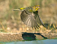 Serin Serinus serinus L 11-12cm. Tiny finch with a stubby bill. Adult males are colourful and distinctive. Other plumages are duller and more streaked. Breeds here occasionally but seen mainly in autumn, feeding in weedy coastal fields.