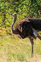 Female ostrich, Kwara Camp, Okavango Delta, Botswana.