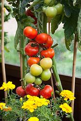 Companion planting of Tomato 'Elegance' with marigolds