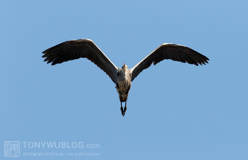 Head-on view of a grey heron (Ardea cinerea) in flight. Photographed in Kochi prefecture, Japan.  アオサギ