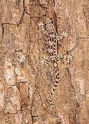 Bent-toed gecko (Cyrtodactylus sp.) from Komodo Island, Indonesia.