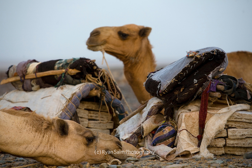 Camels, the main transportation in the Danakil