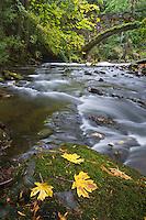 Whatcom Creek with Maple Leaves Bellingham, Washington