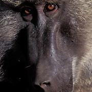 Olive Baboon, (Papio anubis) Portrait. Samburu, Kenya. Africa.