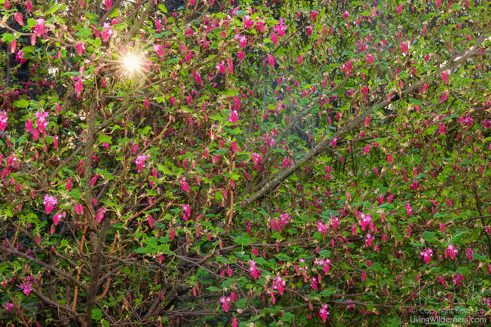 The sun shines through the branches of a red flowering currant (Ribes sanguineum), which begins to bloom in early spring in Snohomish County, Washington. The shrub is native to the western United States and Canada.