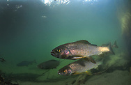 Arctic Grayling<br />