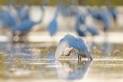 Great egrets preening, Lemon Lake, Great Trinity Forest near Trinity River, Dallas, Texas, USA.
