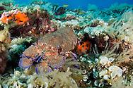 Slipper lobster, Scyllarides latus, Faial, Azores, Portugal