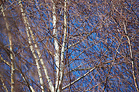 White birch in the spring