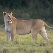 Lion, (Panthera leo) Mature female. Masai Mara Game Reserve. Kenya. Africa.