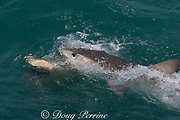 tiger shark ( Galeocerdo cuvier ) scavenging carcass of green sea turtle, Chelonia mydas, killed by native Torres Strait hunters, Mabuiag Island, Torres Straits, Queensland, Australia