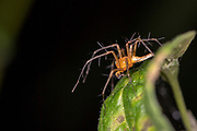 Lynx spider from the family Oxyopidae (Hamadruas sp.) from Komodo Island, Indonesia