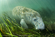Endangered Florida Manatee, Trichechus manatus, feeds on eel grass <br /> in the clear waters of the Ichetucknee River in north Florida.