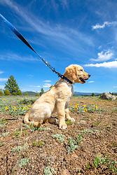 """Puppy in Truckee 1"" - Photograph of a Golden Retriever puppy near Prosser Reservoir in Truckee, California."