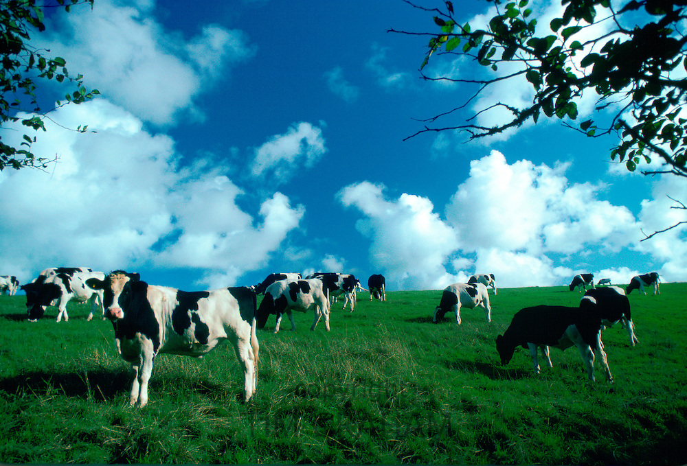 A herd of Friesian cows grazing in a pasture in Helford country, Cornwall, England, United Kingdom