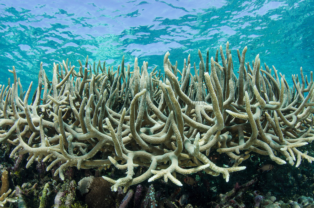 Staghorn Coral (Acropora)<br /> Cenderawasih Bay<br /> West Papua<br /> Indonesia