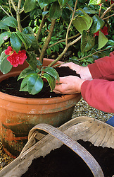 Top dressing a camellia in a container