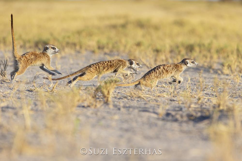Meerkat<br /> Suricata suricatta<br /> Fighting<br /> Makgadikgadi Pans, Botswana
