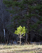 New growth on a small pine tree in Yosemite National Park, CA.
