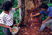 Daniel Piña Real chops through the invested wood of a pansona tree in search of chiro worms (the larvae of longhorn beetles from the family Cerambycidae), while his daughter, Marleni, 16, and son, Ramiro, 14, take part. Near the Yanatile River, Koribeni, Peru. (Man Eating Bugs page 160 Top)