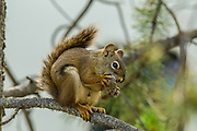 Red Squirrel in Yukon Territory.  Whitehorse, YT