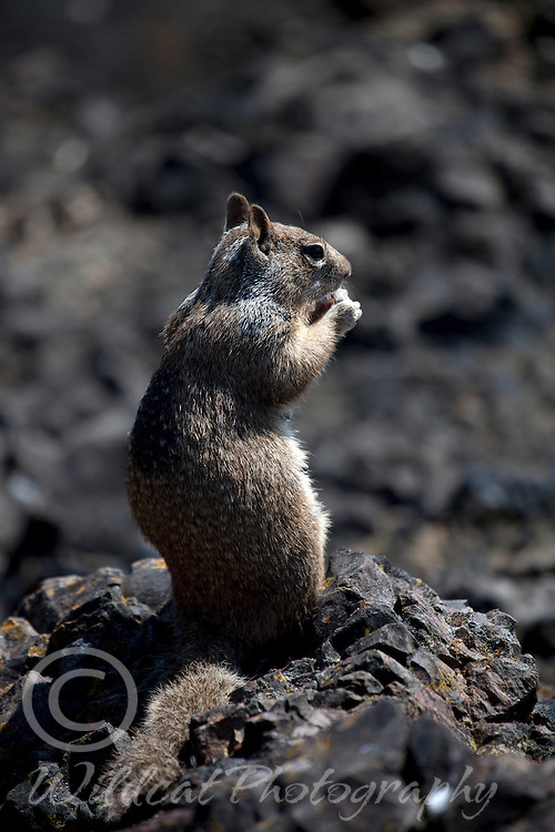 Graydigger or ground squirrel