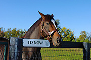 October 29, 2005, Versailles, Kentucky, USA;  Tiznow is the only thoroughbred race horse to win the Breeders' Cup Classic twice in 2000 and 2001. He was the 2000 American Horse of the Year and was inducted into the National Museum of Racing and Hall of Fame in 2009.