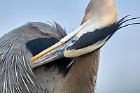 Great Blue Heron Ardea herodius Wakodahatchee Wetlands Delray Beach Florida USA