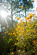A patch of yellow wildflowers in the woods.