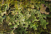 Lungwort (Lobaria pulmonaria) - a large epiphytic foliose lichen growing on old tree, near Aloja, Vidzeme, Latvia Ⓒ Davis Ulands | davisulands.com