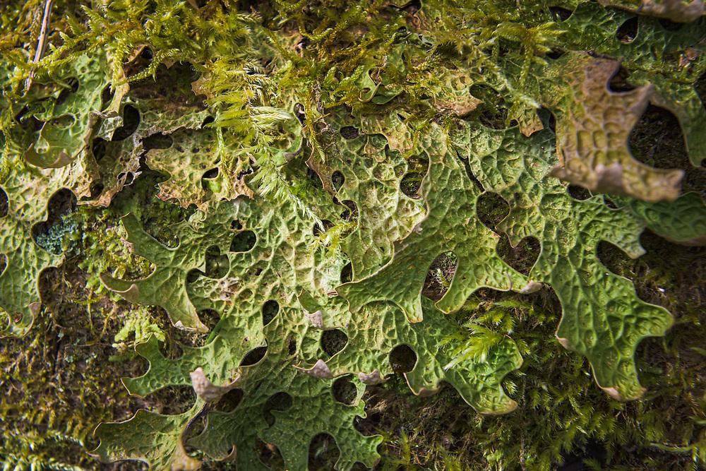 Lungwort (Lobaria pulmonaria) - a large epiphytic foliose lichen growing on old tree, near Aloja, Vidzeme, Latvia Ⓒ Davis Ulands   davisulands.com