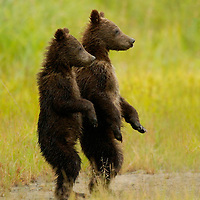 These two grizzly bear cubs-of-the-year are standing on a bear path in Lake Clark National Park in Alaska looking at their mother a few yards away.
