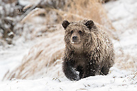 Grizzly Bear in the snow.